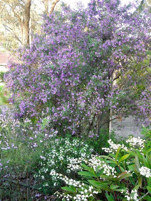Prostanthera ovalifolia Rosea