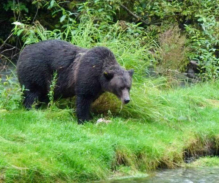 We saw a bear eat her breakfast at the Fish Creek Wildlife Viewing Center in Hyder, Alaska. Are you planning to travel the Alaska Highway? A sidetrip down the Cassiar Highway to Stewart B.C. and Hyder, Alaska is well worth it.