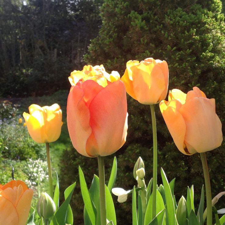 My orange tulips