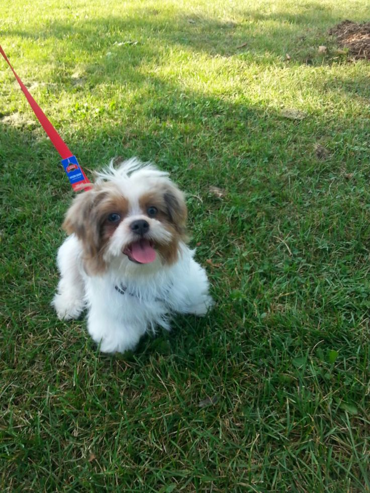 shih tzu face haircut 13 best images about shih tzu haircuts on 2911 | 3672eaded060ae4f5b6a62e866601143