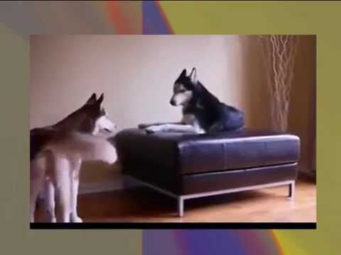2 TALKING DOGS ARGUE, Funny Videos, Funny Dogs, Funny Animals -  #dog #dogs #funnydogs #puppy #doglover #animals #animal #pet #cute #pets #animales #tagsforlikes 2 TALKING DOGS ARGUE, Funny Videos, Funny Dogs, Funny Animals, Funny Video in the world  - #Dogs