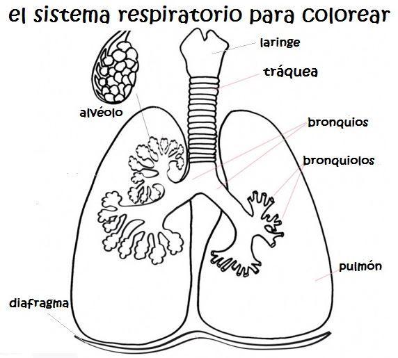 Sistema Respiratorio Para Colorear Medical School Studying Printable Coloring Book Science And Nature