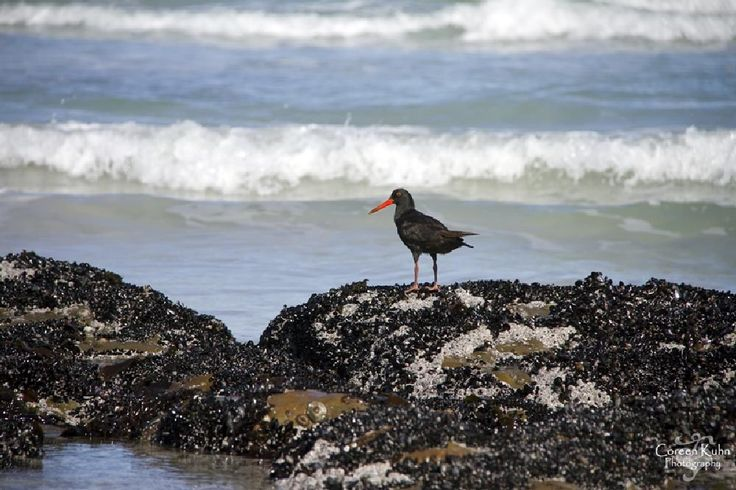 African Black Oystercatcher by CoreenKuhnPhotography