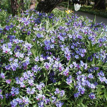 :: Lithospermum purpurocaeruleum - Purpurblauer Steinsame :: Mit Stauden gestalten :: Wild- und Naturgarten :: Heimische Wildstauden - Pflanzenversand Gaissmayer