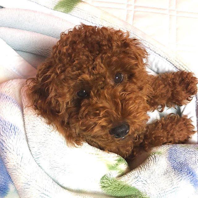 おふとん大好きしぇりーちゃん❤️ 今日は一緒にお寝んね☺️ おやすみなさい💤  #愛犬#子犬#シェリー#トイプードル#5ヶ月#トイプー#癒し#可愛い#天使#まいべいびー #toypoodle#love#dog#cute#sherry