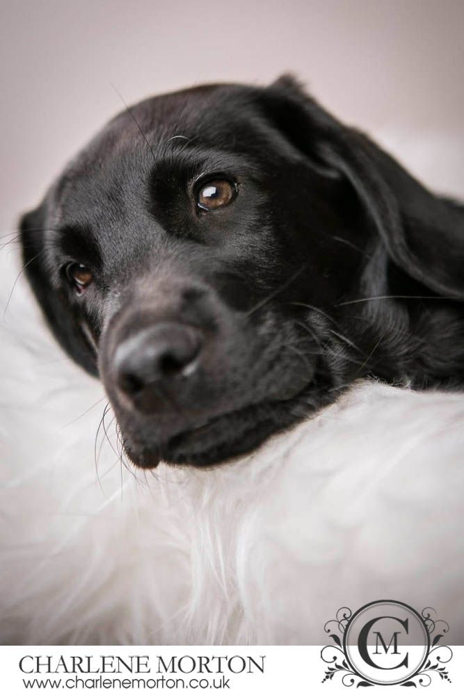 Black lab puppy photography
