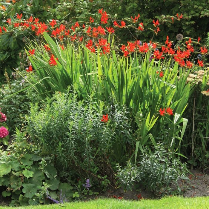 Crocosmia Lucifer - Longfield Gardens
