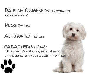 Un perro bichón maltés se pone eufórico al jugar con su peluch...