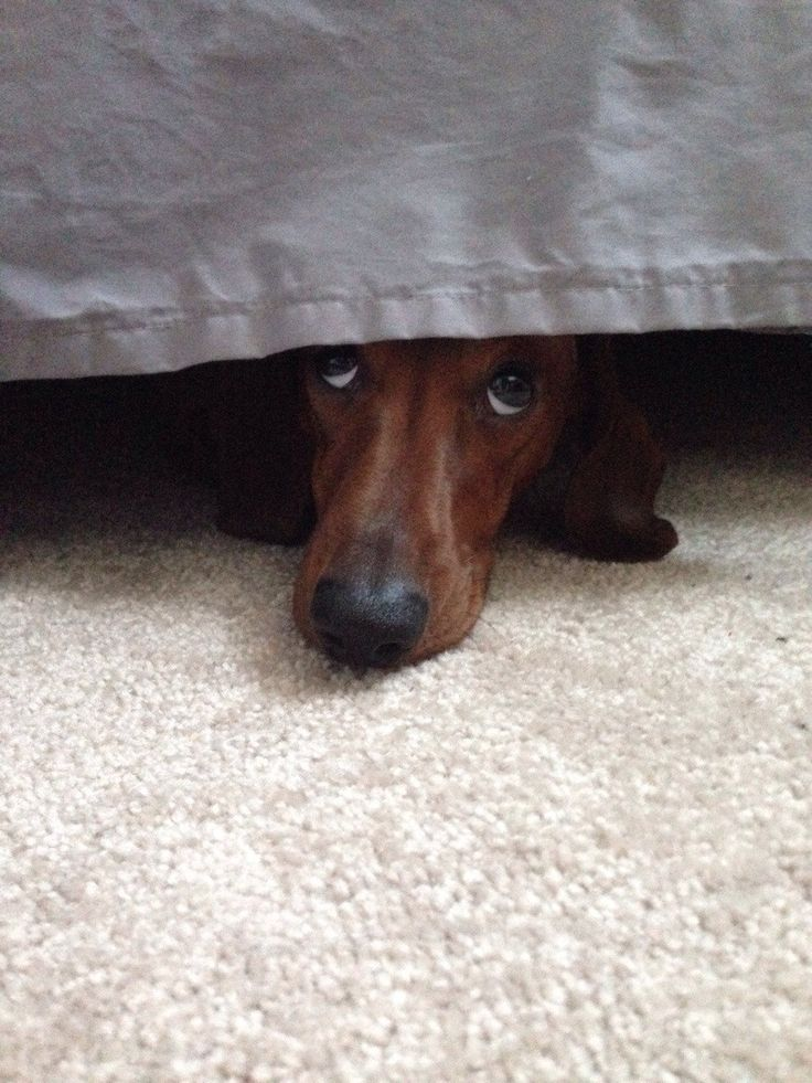 """I've seen this look from the """"under the bed lair"""" countless times ;)  #dachshund"""