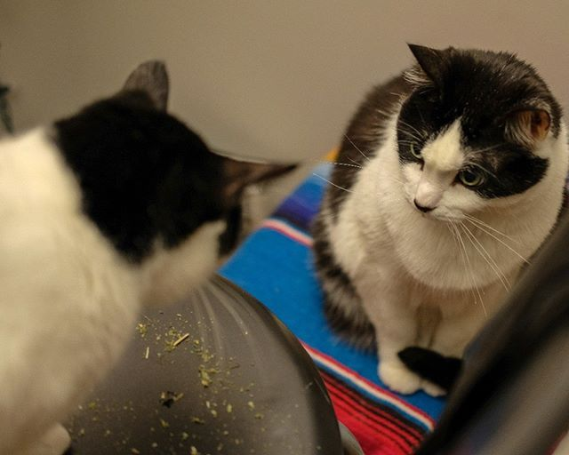 Gordy and Dexter have broken out the catnip but they're not quite sure what to do with it #cute #cats #gordy #dexter
