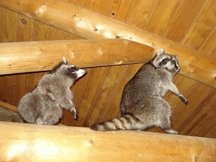 How to repel raccoons garden guides running the gamut of interesting pinterest gardens How to keep raccoons out of garden