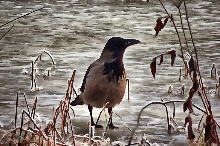 Crow on Ice. Holmlia, Oslo, Norway
