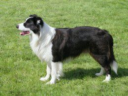 Border Collie Dog Breed Information, Facts, Photos, Care | Pets4Homes