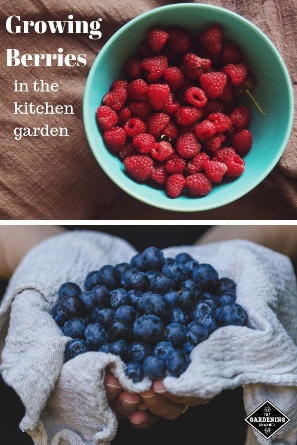 Complete Gardening Guide Grow Berries In The Kitchen Garden Growing Blueberries Growing Raspberries Growing Blackberries