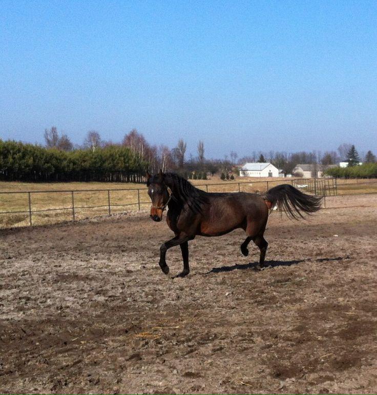 Arabian Horse, Style, Beauty, Elegance, Staillon