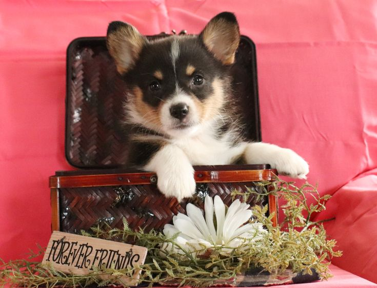 Kindhearted Welshcorgi Welsh Corgi Puppies Corgi Puppy Corgi