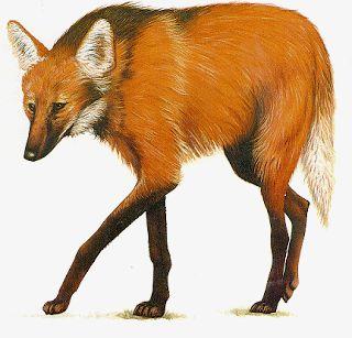 BIOLOGIA ACONTECENDO: O lobo-guará (Chrysocyon brachyurus)
