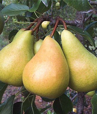 Fruit Trees | Sunrise European Pear
