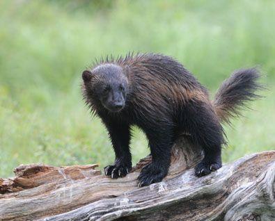 Wolverine - Ahma.