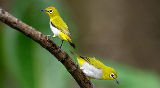 Burung Pleci Cute Photo
