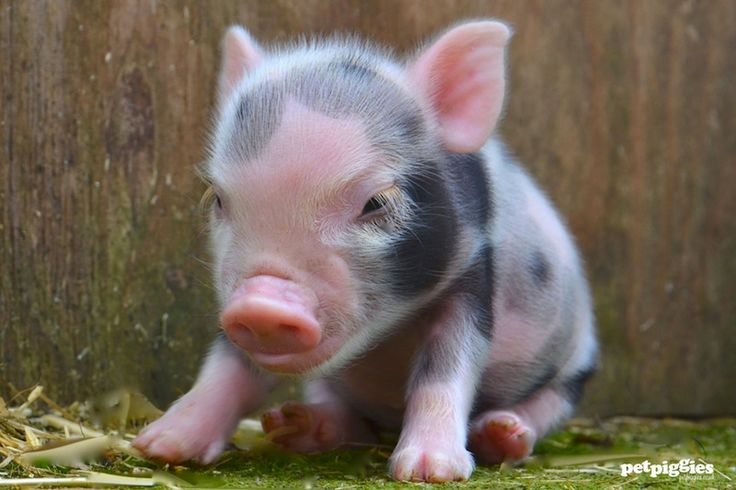 The 25+ best Baby pigs for sale ideas on Pinterest | Micro ...