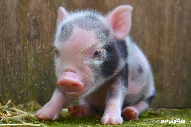mini-pigs-for-sale-petpiggies-8
