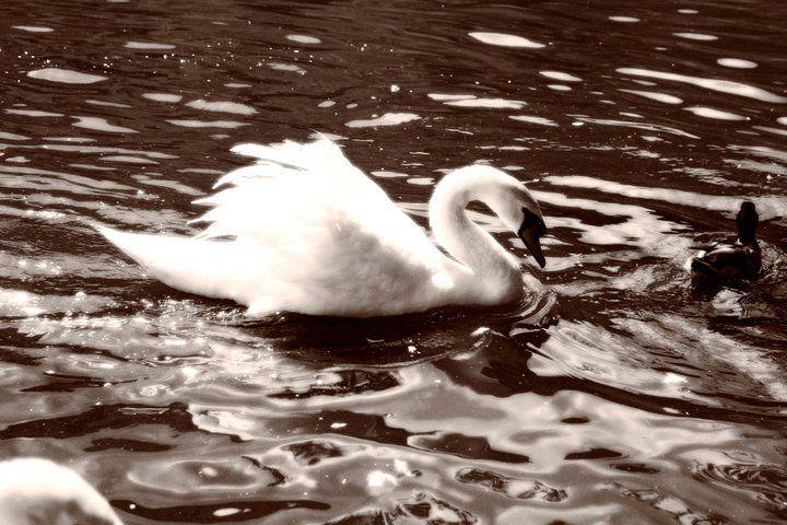 Cerca de donde vivo hay un lago donde conviven patos, cisnes y demás aves. Algunas veces, me siento en uno de los bancos que hay y los observo. No parece que vivan preocupados en absoluto.