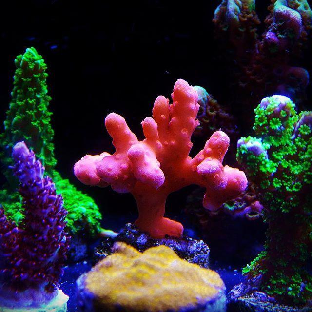 www.aquariumcreationsonline.net sps.html