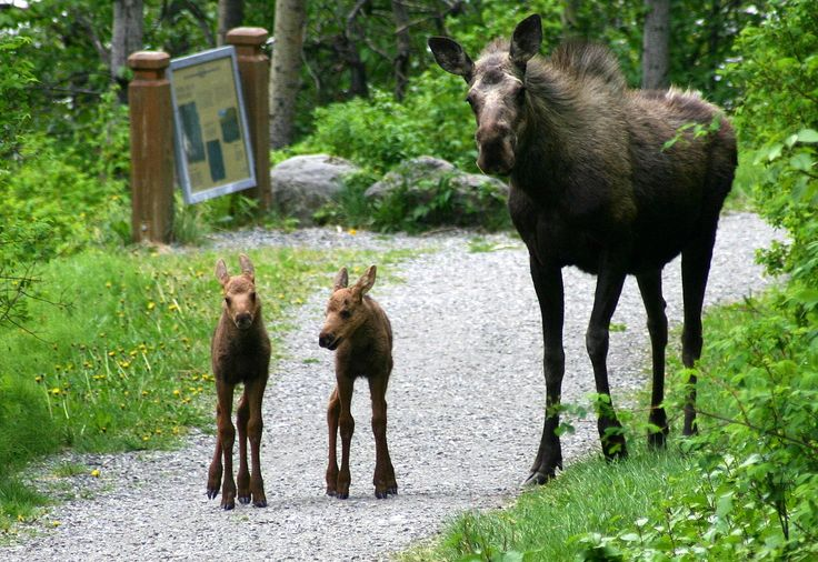Mamma moose and babies. Notice the Mamma has hairs standing up in the back of her neck!! Not good!!