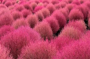 Kochia Scoparia grass. (Mexican Burning Bush) is hardy and drought-tolerant foliage plant that germinates super fast. They start out green but turn a pretty red color once it starts to get cold.