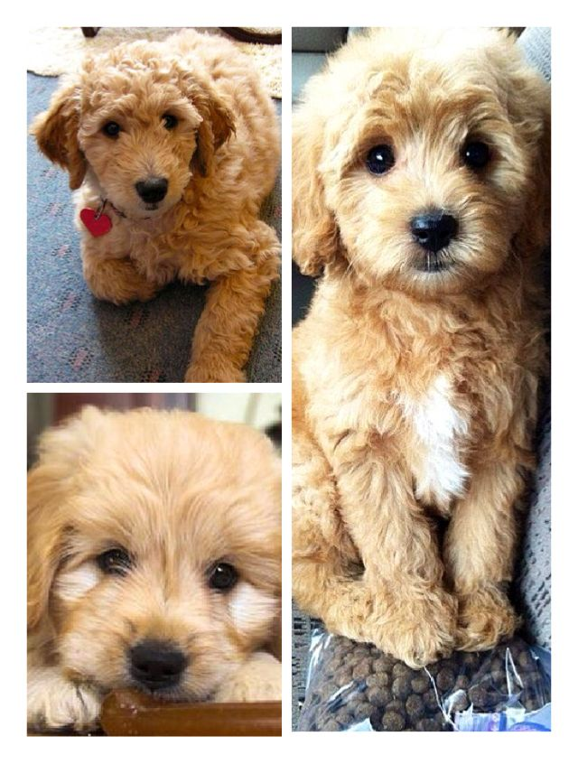 Mini golden doodle aka the perfect dog
