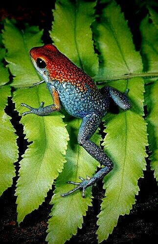 Granulated Poison Arrow Frog