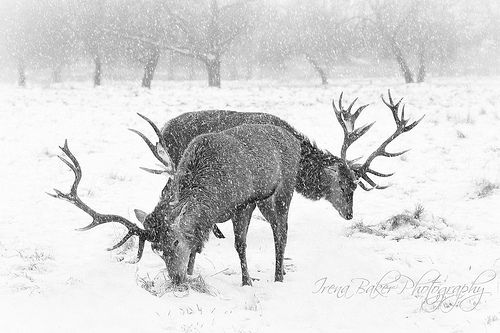 1078 best red stag images on pinterest