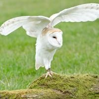 The Barn Owl. The New Zealand Forest & Bird campaign for Bird Of The Year 2012 helping species in need and endangered.