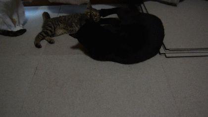 黒い猫が子猫に手加減してキックして遊んであげているGIF画像 created by sonia2eius