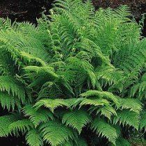 lady fern- for under pine trees