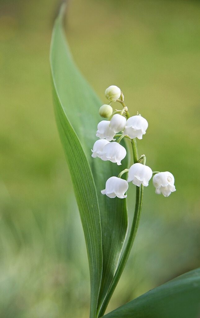 Epingle Sur My Favorite Flower Lily Of The Valley