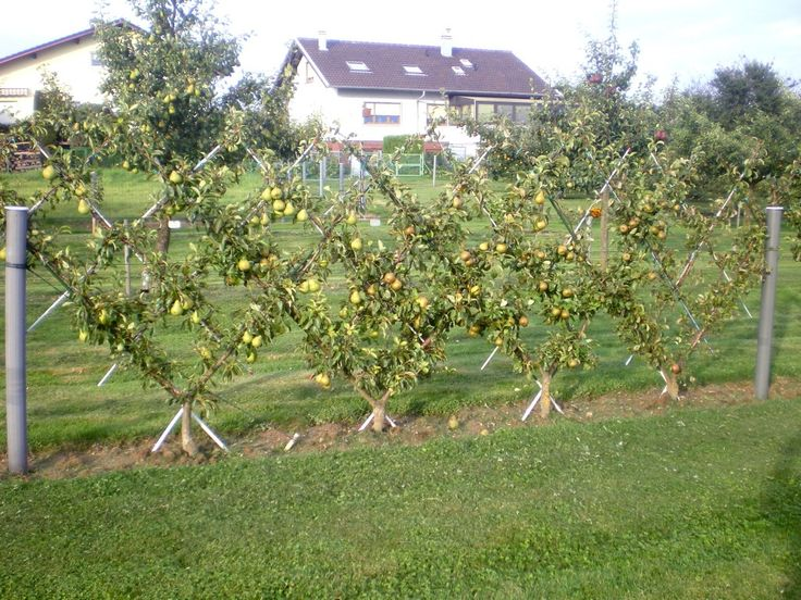59 best images about palissage pour arbre fruitier on - Arbre fruitier en espalier ...