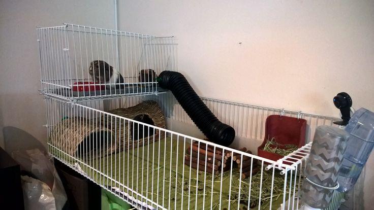 Pig Bookcase Guinea Cage