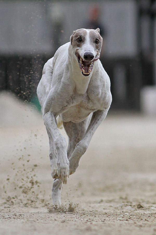The Greyhound An Affectionate And Easily Trained Hound With An Eye For Critters Grey Hound Dog Baby Dogs Dogs