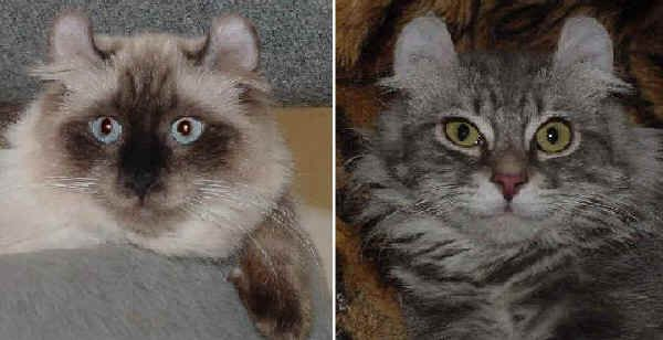 American Curl Longhair ----- E' un gatto molto docile e dimostra un grande amore verso l'uomo. E socievole con i suoi simili dalle orecchie arricciate,  invece con gli altri gatti si può dimostrare irascibile e attaccabrighe. Per indole è tranquillo ed equilibrato con tutti, anche con gli estranei. Ama essere al centro dell'attenzione; è molto vivace e spesso per questo è un combina guai e potrebbe commettere qualche dispetto.