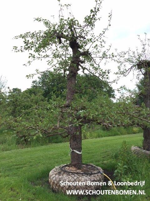 Voor karakteristieke oude fruitbomen, notenbomen en laan- en sierbomen bent u bij ons aan het goede adres! We hebben oa prachtige oude perenbomen beschikbaar! Dit is een laagstam Saint Remy stoofpeer uit ons assortiment van ca. 45-50 jaar oud. Een echte blikvanger van ca. 3,5 hoog!