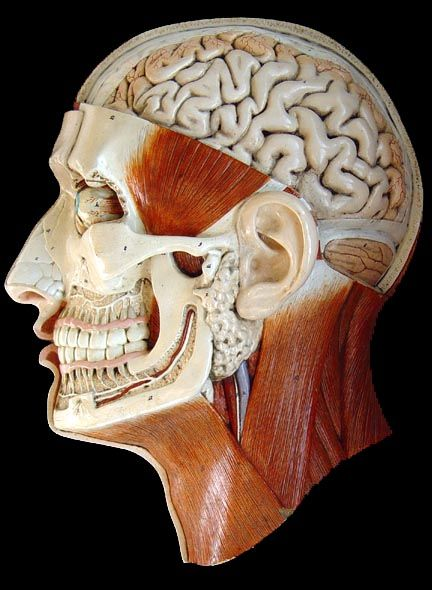 Bock Steger Lips plaster anatomical head, c. 1900