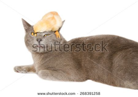 Studio portrait of crazy and funny animals. Baby chick playing with gray cat. #Cat #Kitty #Chick #Farm #Crazy #FunnyAnimals #Chartreux #Catd #Portrait #Isolated #Domestic #Pets #Animals #Cute #Nature #Studio #Easter