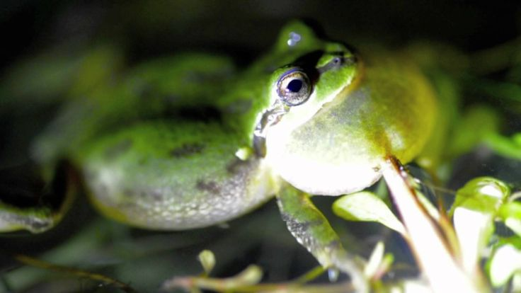 Pacific tree frogs sing their mating calls from a pond on a ranch in southwestern Oregon.