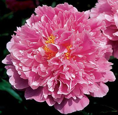 Klehm's Song Sparrow Farm and Nursery--PEONY Pink Kisses