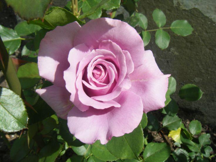 růže - vznikla při množení růžovo-bílé