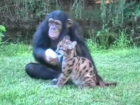 Adorable and amazing video of a Chimp and a Puma playing
