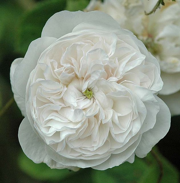 Rose Mme. Alfred Carriere | Flickr - Photo Sharing!