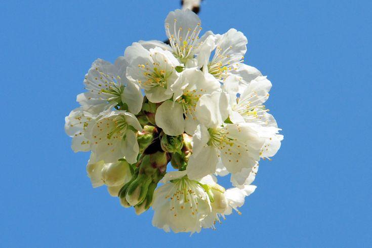 Άνθη Κερασιάς,